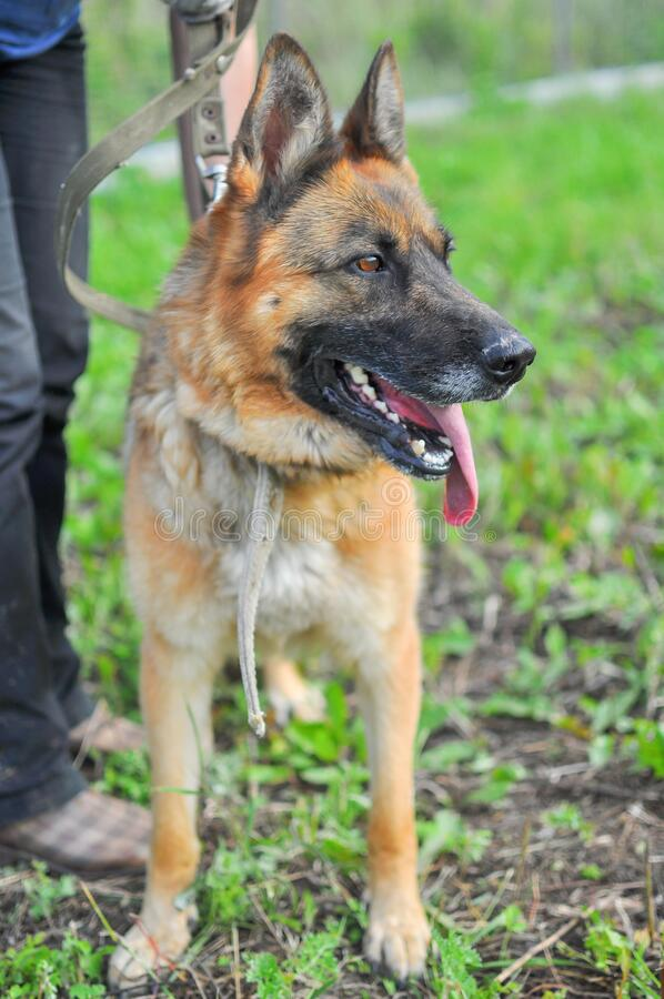 Close-up of a beautiful German shepherd with an open mouth and a protruding tongue. Standing at the feet of the owner on a summer or spring day. Vertical stock images