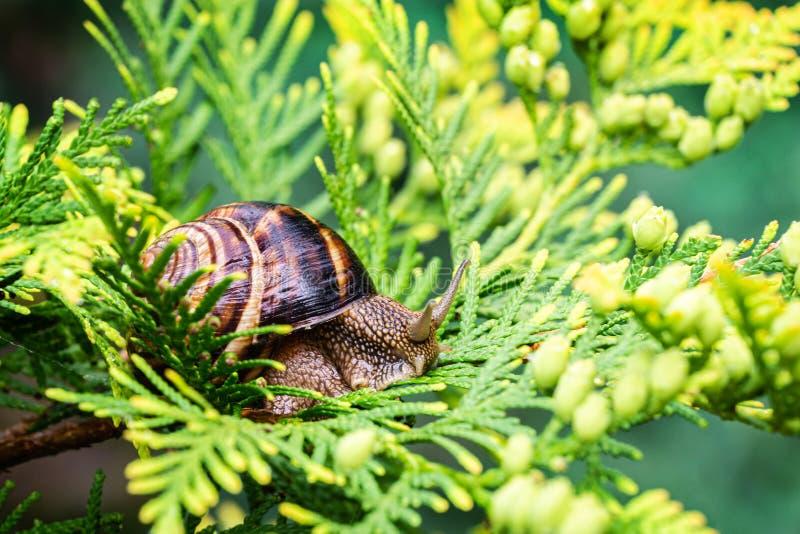 Close-up of beautiful grape snail Helix pomatia, Roman snail, Burgundy snail, edible snail or escargot on bright yellow-green. Texture needles of Thuja royalty free stock photo