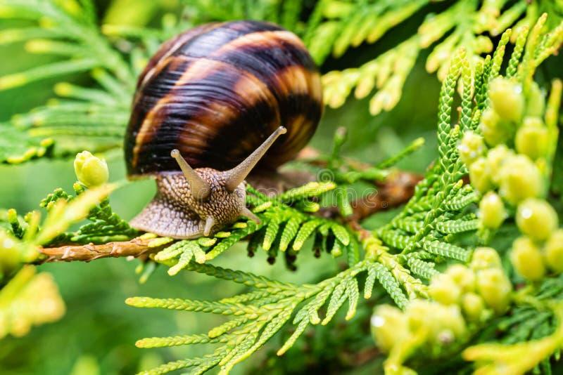 Close-up of beautiful grape snail Helix pomatia, Roman snail, Burgundy snail, edible snail or escargot. On bright yellow-green texture needles of Thuja stock images