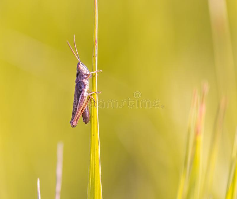 Close up of beautiful grasshopper sitting on grass royalty free stock image