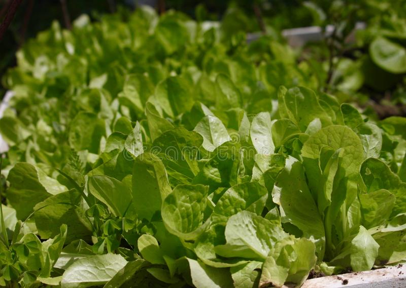 Green fresh salad. Close-up of beautiful green fresh salad, background royalty free stock image