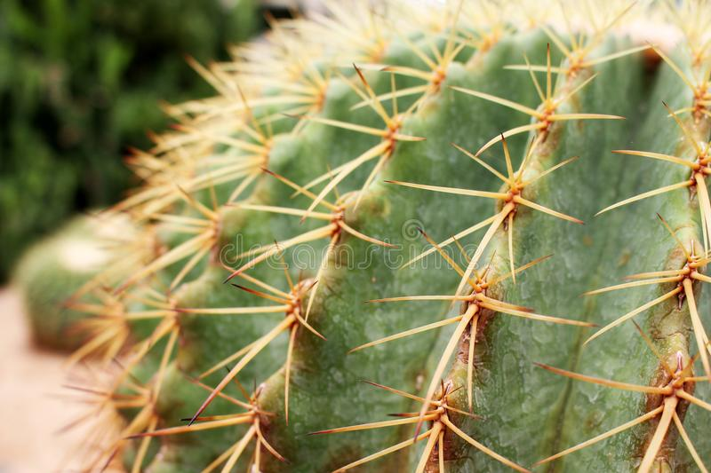 Close Up Beautiful Green Thorn Echinocactus grusonii Cactus for Background or Wallpaper stock photo