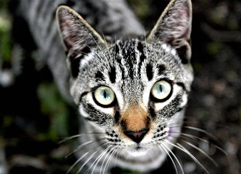 Close up Of Beautiful Grey Striped Feral Cat royalty free stock photos