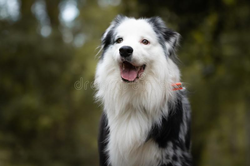 Close up of beautiful and happy australian shepherd on forest pathway in selective color, black and white stock image