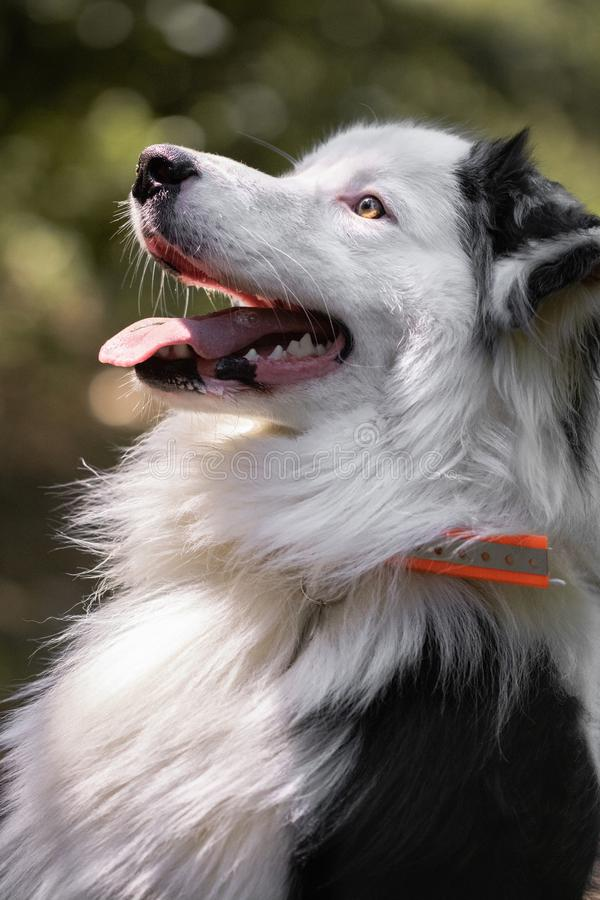 Close up of beautiful and happy australian shepherd looking at camera on forest pathway stock photo