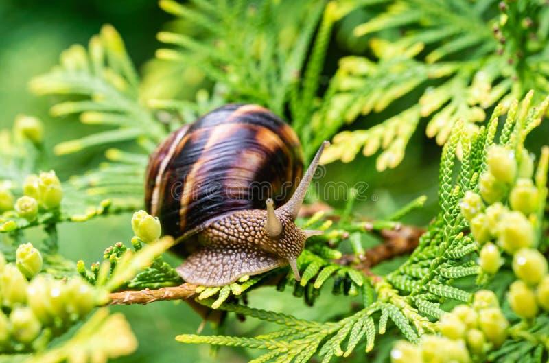 Close-up of beautiful Helix pomatia, Roman snail, Burgundy snail on bright yellow-green texture needles. Of Thuja occidentalis Aurea in natural habitat stock photography
