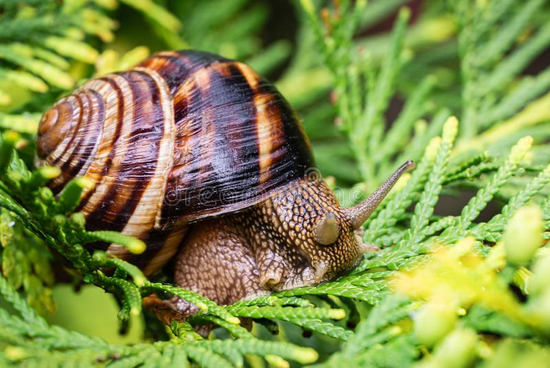 Close-up of beautiful Helix pomatia, Roman snail, Burgundy snail on bright yellow-green texture needles of Thuja occidentalis. Aurea in natural habitat royalty free stock images