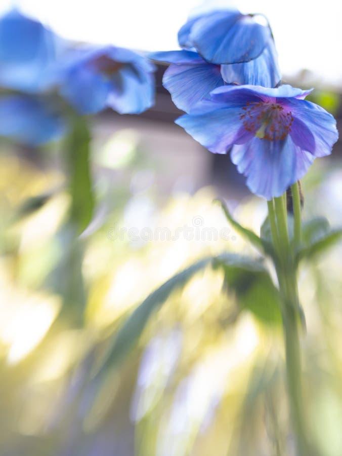Beautiful close up of Himalayan Blue Poppy royalty free stock photo