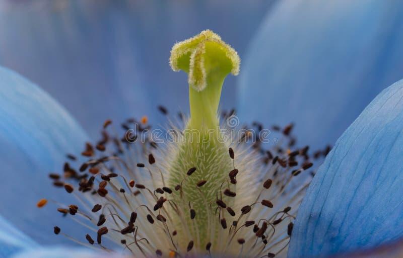 Beautiful close up of Himalayan Blue Poppy stock images