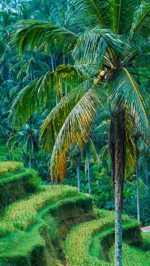 Close up of Beautiful Huge Palm Tree in Amazing Tegalalang Rice Terrace fields, Ubud, Bali, Indonesia royalty free stock image