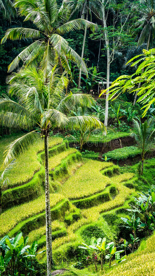 Close up of Beautiful Huge Palm Tree in Amazing Tegalalang Rice Terrace fields, Ubud, Bali, Indonesia stock images