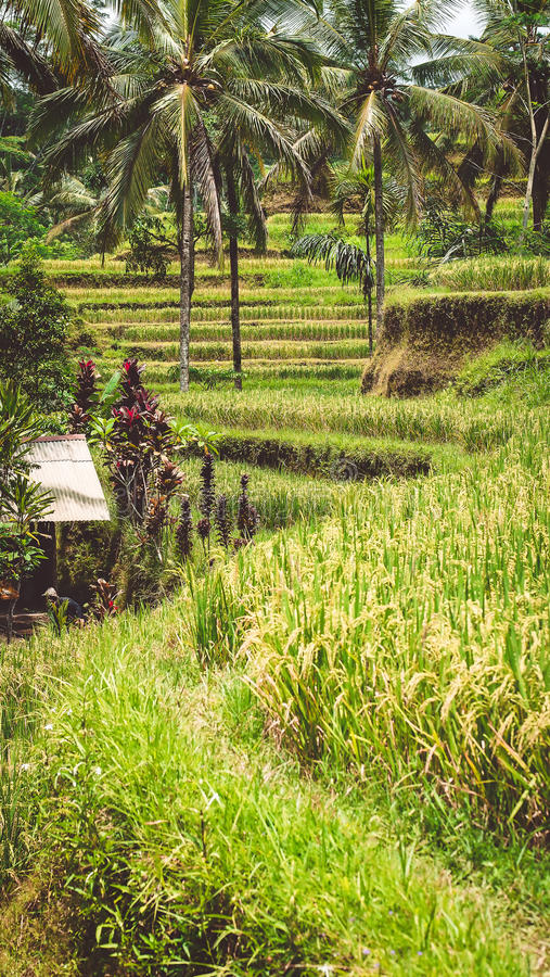 Close up of Beautiful Huge Palm Tree in Amazing Tegalalang Rice Terrace fields, Ubud, Bali, Indonesia royalty free stock photography