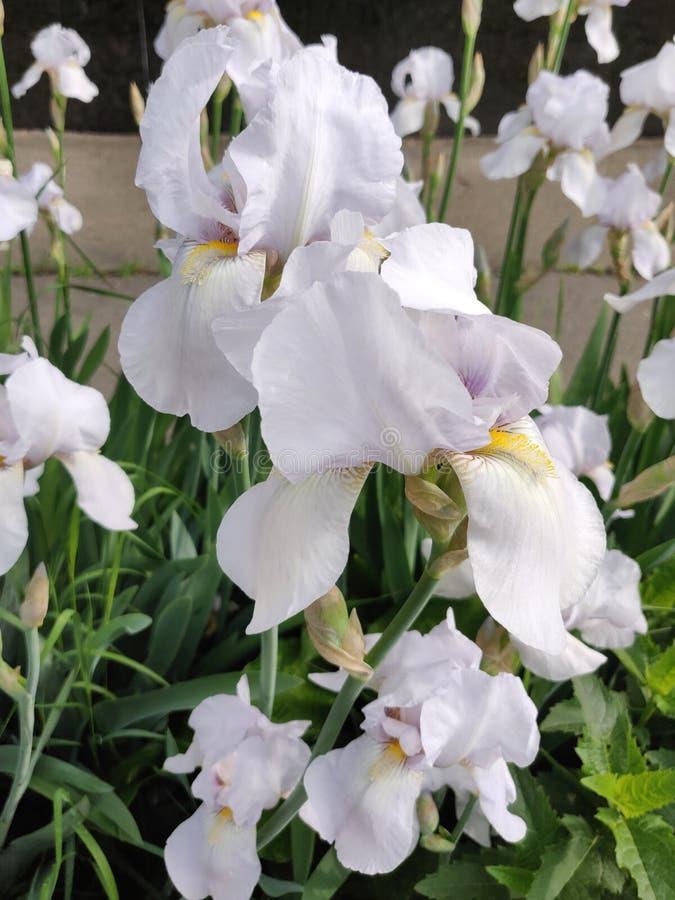 Iris flower white stock photo