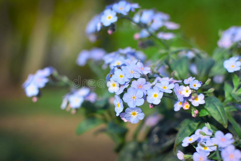 Close up of beautiful light purple  `forget me nots` Myosotis spring flowers royalty free stock photo