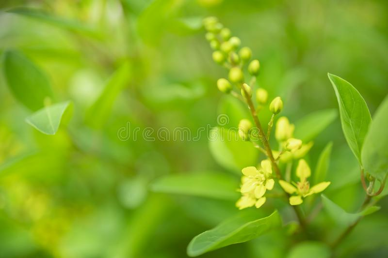 Close up of beautiful little yellow flower with green leaf and blurred greenery nature background stock image