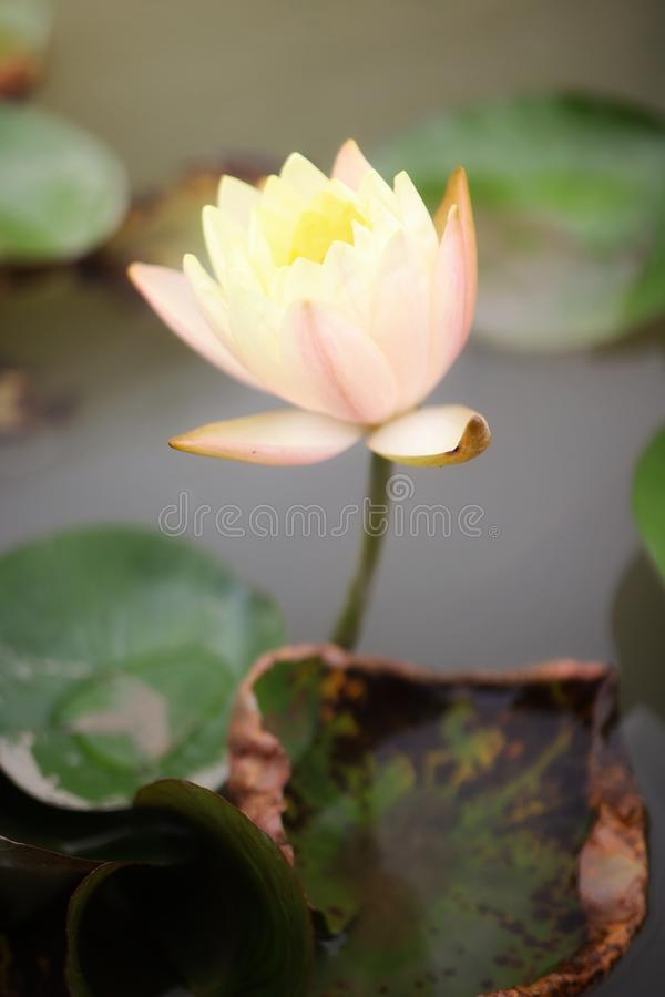 Close-up of beautiful lotus flowers in orange and blur background. Outdoor royalty free stock image
