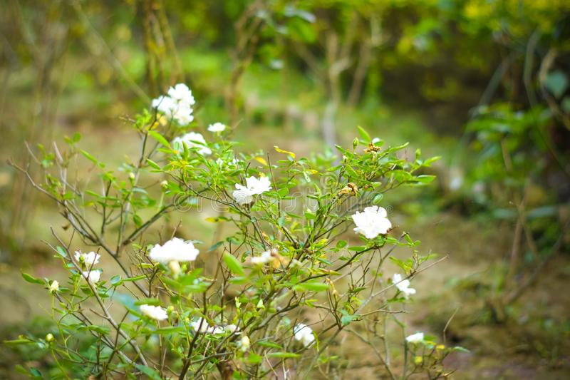 Close up white flowers on green branch. White rose and bud on garden. Valentines background with fresh leaves royalty free stock photography