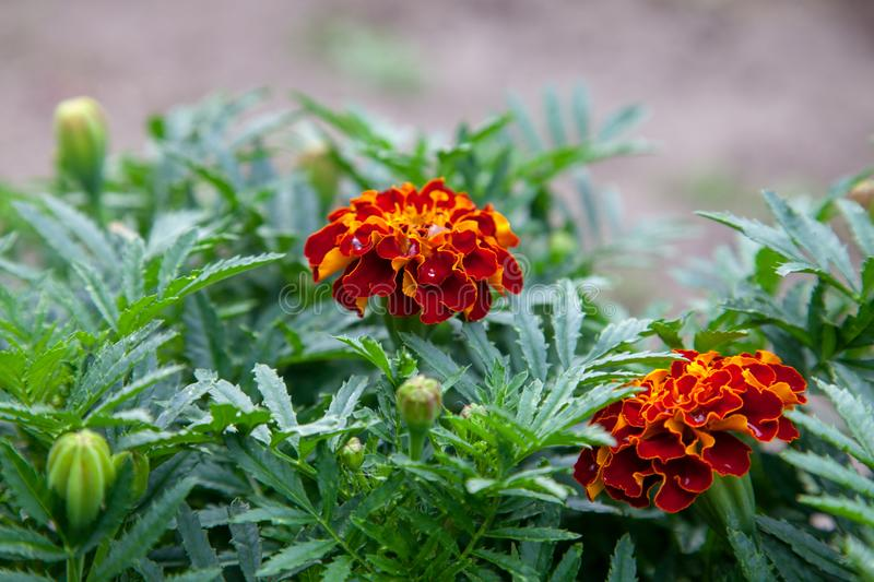 Close-up of beautiful marigold blossom, french marigold`s flower, Tagetes patula. Tagetes garden flower stock image