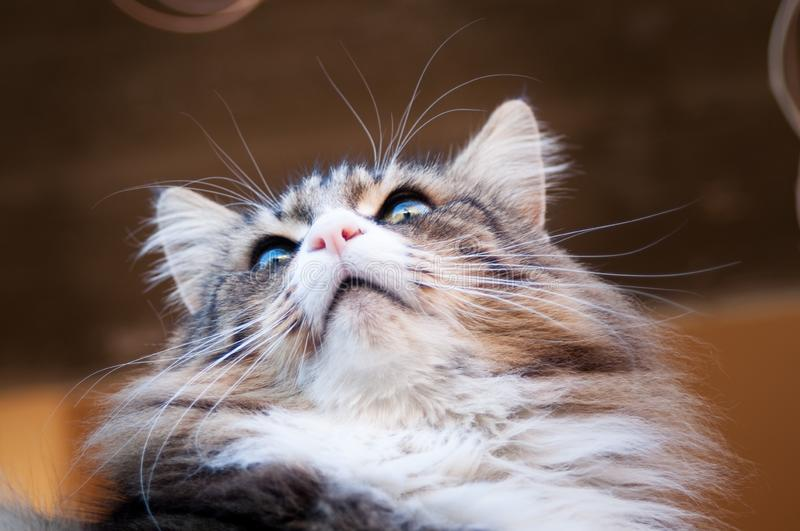 Close up of a beautiful norwegian forest cat from below. cat face from below. whiskers and eyebrow against the light. Dark brown background stock images
