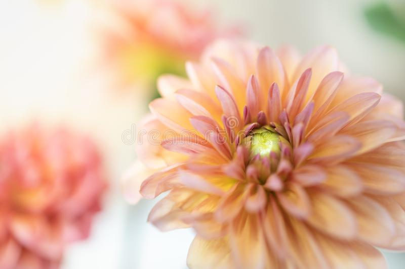 Close up of beautiful orange pink yellow Dahlia flower with copy space for text using as background natural plants landscape,. Ecology wallpaper concept stock images