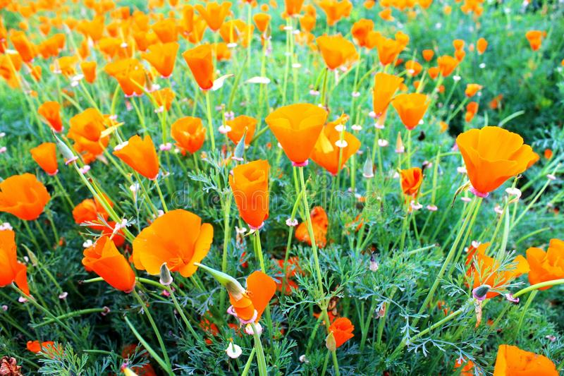 Close up beautiful orange poppy flower garden royalty free stock image