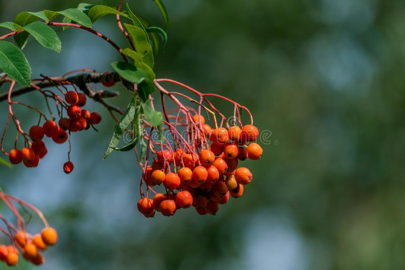 Close up of beautiful orange rowan tree berries. Detailed close up of orange rowan tree sorbus berries with a blurry bokeh background royalty free stock photography