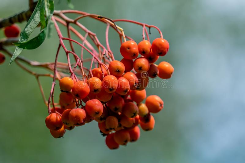 Close up of beautiful orange rowan tree berries. Detailed close up of orange rowan tree sorbus berries with a blurry bokeh background royalty free stock photos