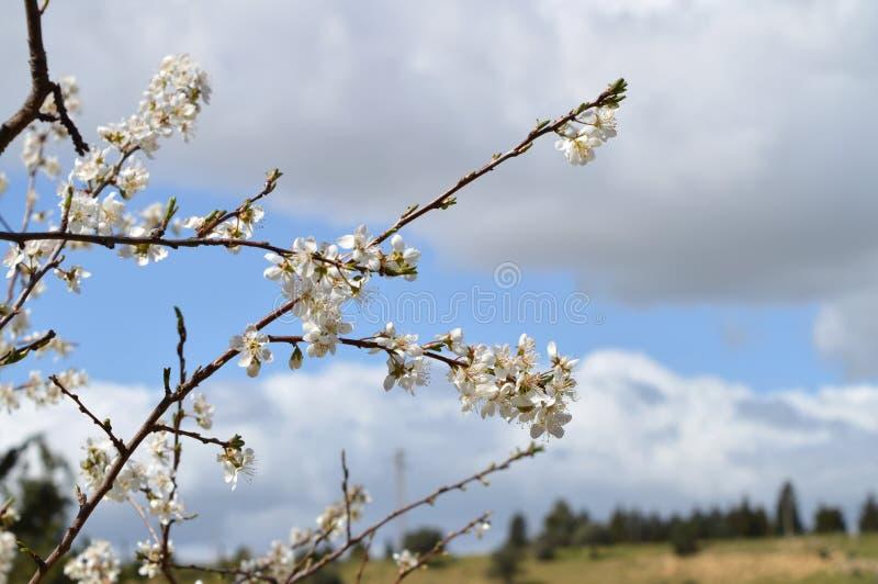 Close-up of Beautiful Pear Blossoms, Nature, Macro. Natural Background royalty free stock photo