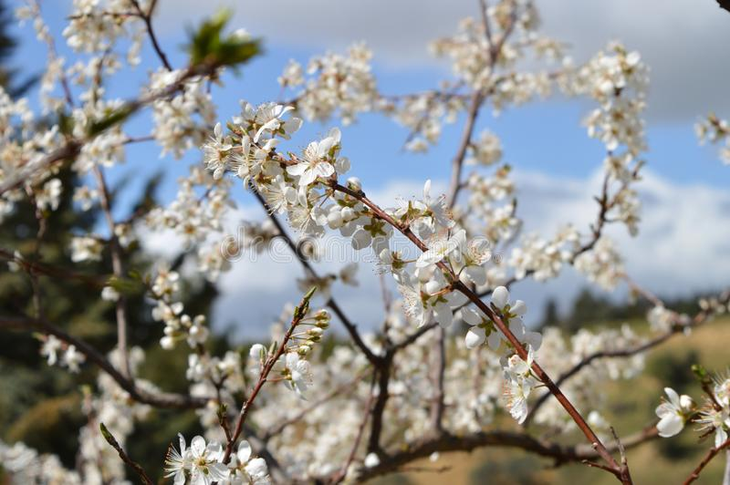 Close-up of Beautiful Pear Blossoms, Nature, Macro. Natural Background stock images