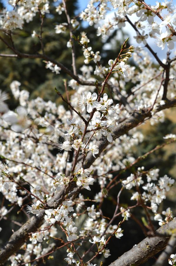 Close-up of Beautiful Pear Blossoms, Nature, Macro. Natural Background stock photo