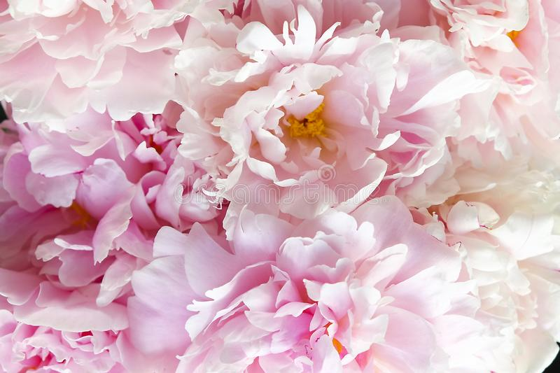 Close up of beautiful peony flowers. Macro photo of peonies petals. stock image