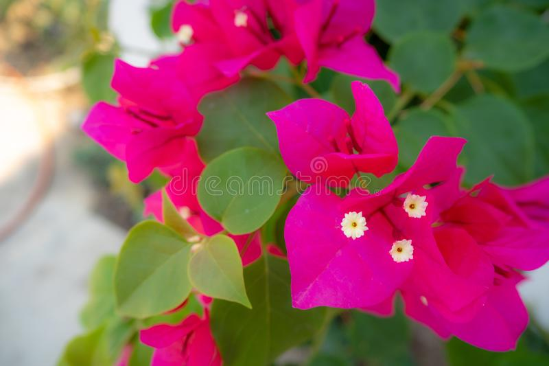 Close-up beautiful pink bougainvillea flowers on blurred public park background stock images