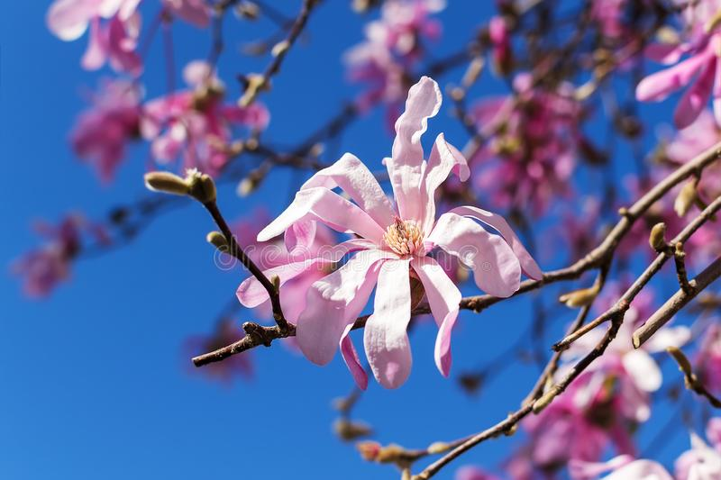 Close-up of beautiful pink magnolia flowers on a bright blue sky background. Blossoming of magnolia tree on a sunny spring day. Flowering of magnolia in a royalty free stock images