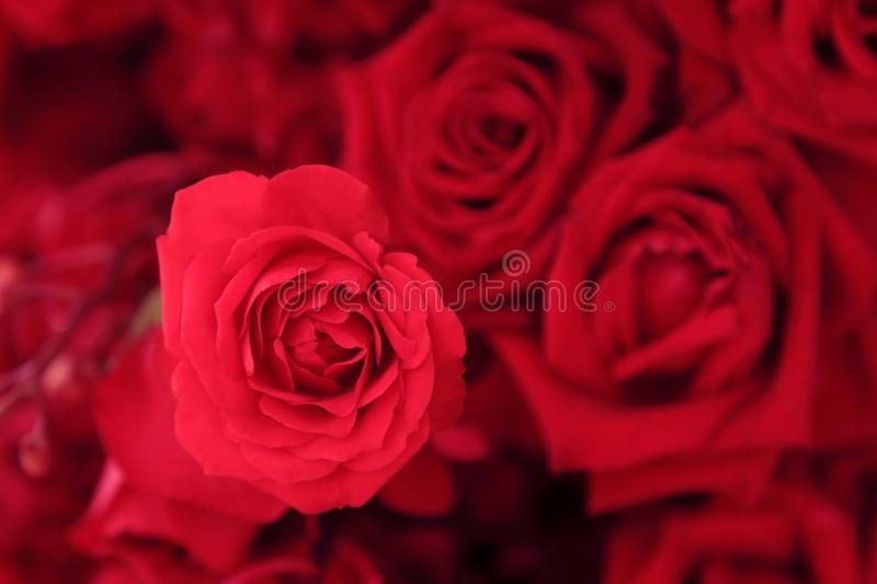 Close up of beautiful pink rose in flower bouquet stock photography