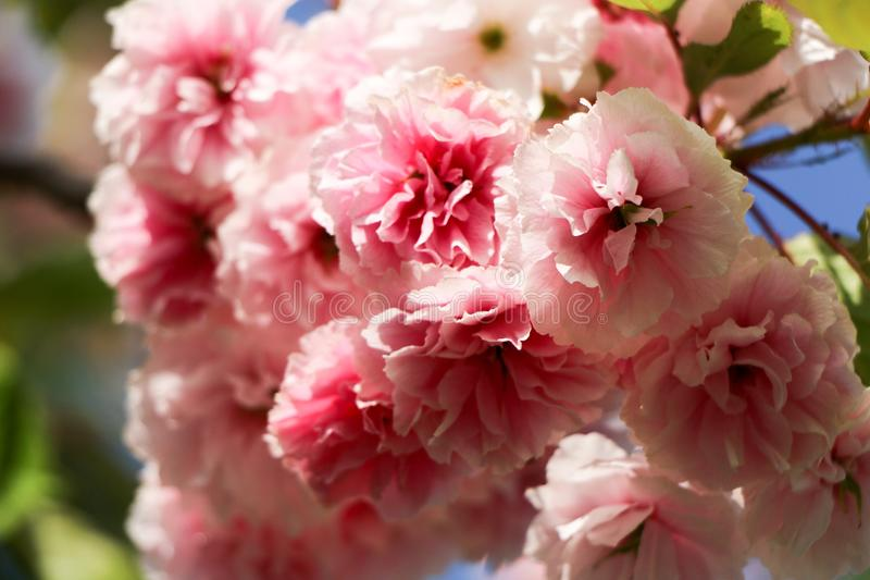 Close up of beautiful pink sakura flowers in the morning. royalty free stock image