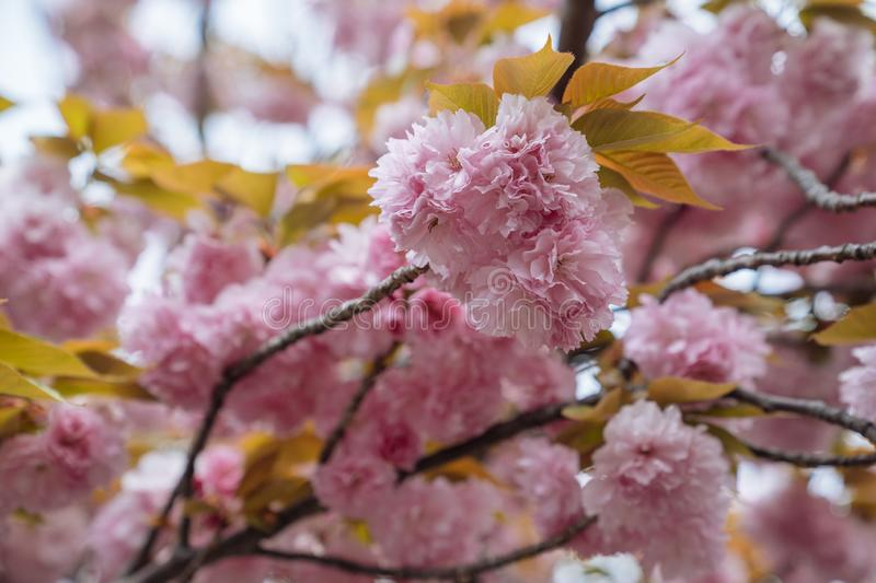 Close up of beautiful pink sakura flowers in the morning. Cherry blossom with yellow leaves on the tree in spring. amazing flora royalty free stock photo