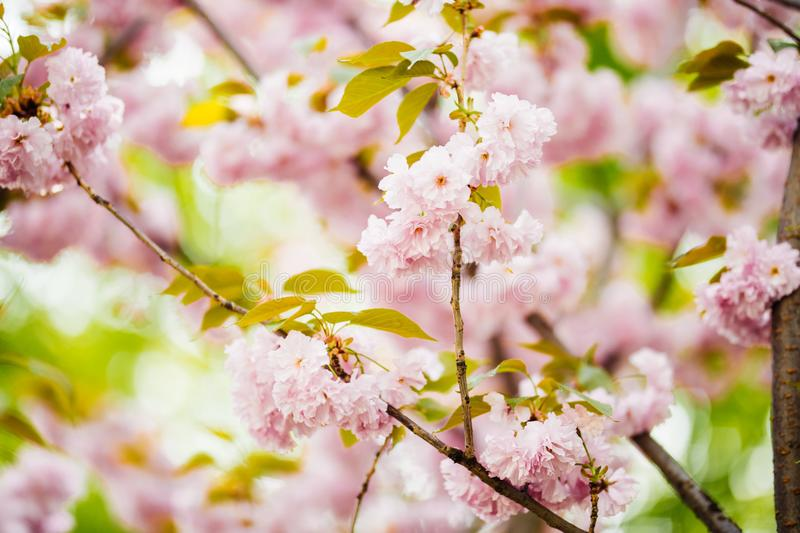 Close up of beautiful pink sakura flowers in the morning. Cherry blossom royalty free stock photo