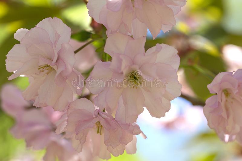 Close up of beautiful pink sakura flowers. Soft focus Cherry Blossom or Sakura flower on blue sky background. royalty free stock photos