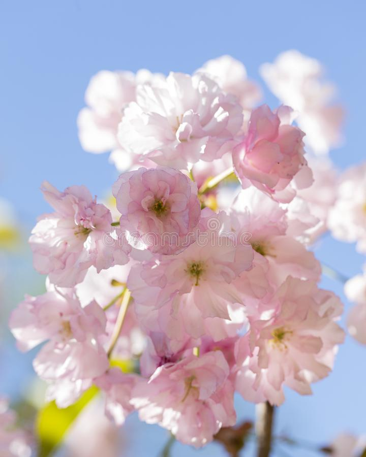 Close up of beautiful pink sakura flowers. Soft focus Cherry Blossom or Sakura flower on blue sky background. royalty free stock photo