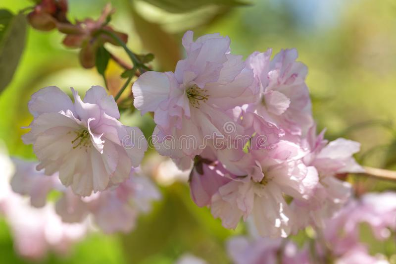 Close up of beautiful pink sakura flowers. Soft focus Cherry Blossom or Sakura flower on blue sky background. stock images