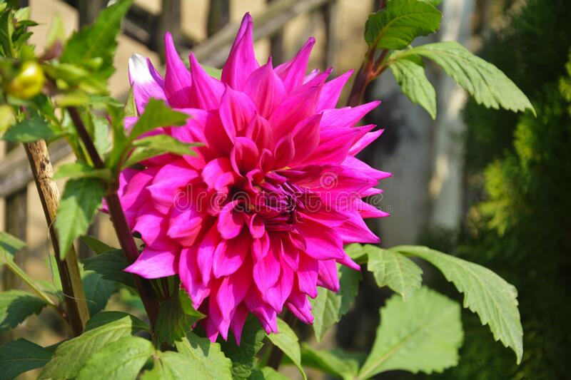 Many flowers of India like dahlia. Close up of beautiful pinkish Dahlia pinnata flower with green leaves growing in garden, selective focusing royalty free stock photos