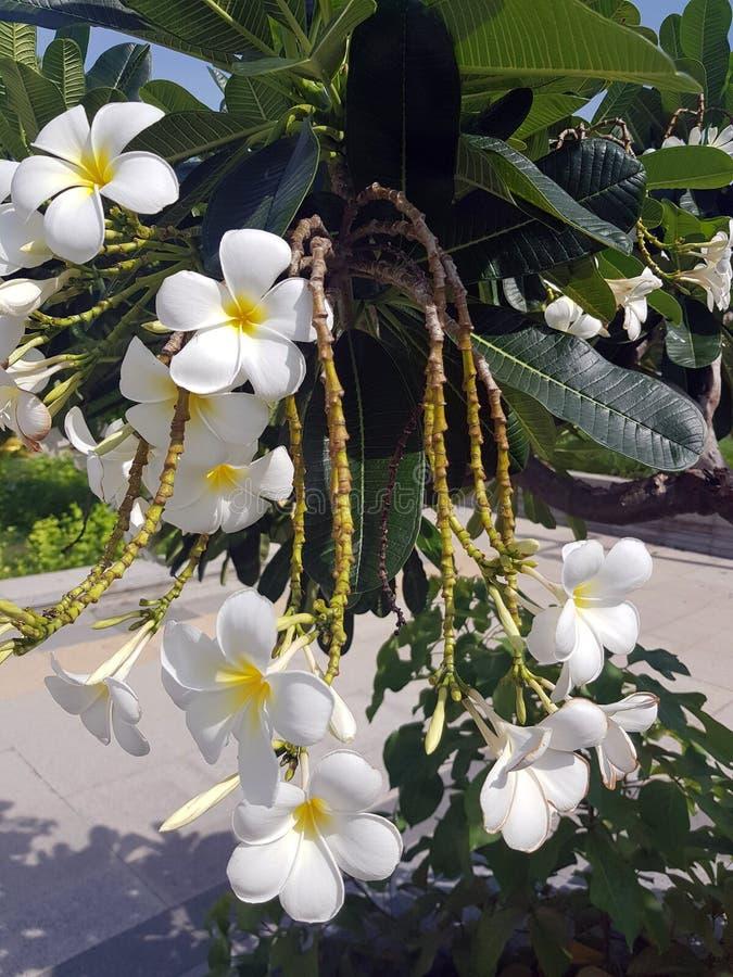 Close up beautiful Plumeria royalty free stock photos