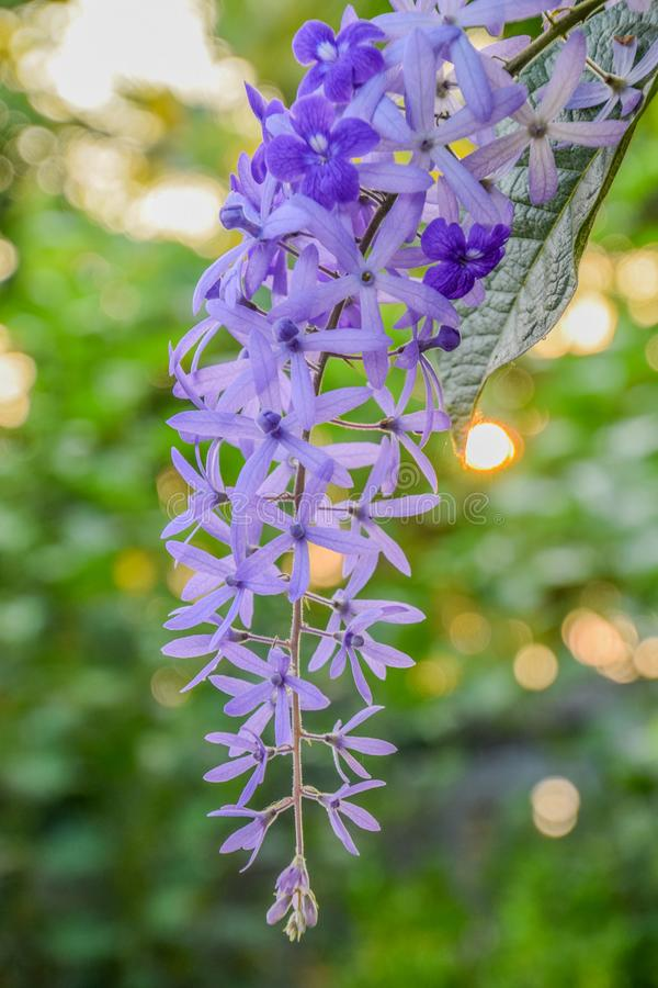 Close up of Beautiful Purple Flower, Sandpaper vine or petrea flower on Bokeh Nature Background. Vertical image royalty free stock photo