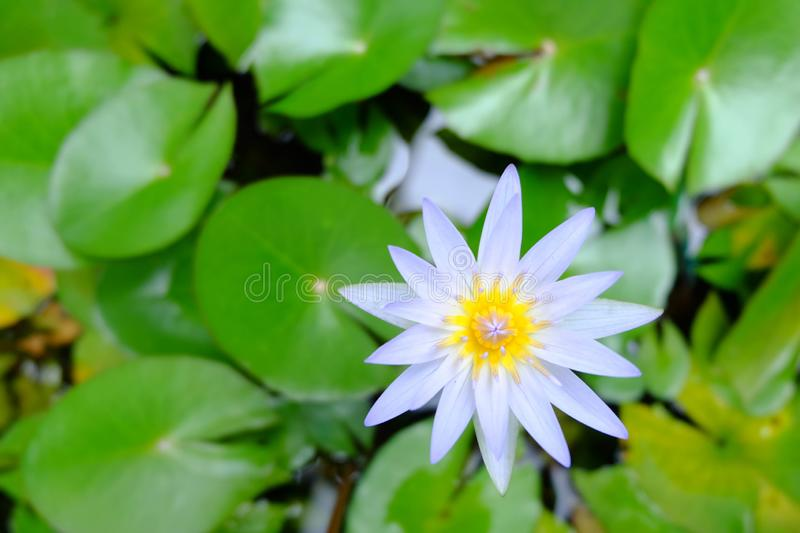 Close up of beautiful purple lotus flower and green lotus leaf i stock image