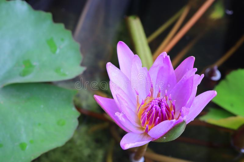 Close up, beautiful purple lotus, green leaves in the morning nature stock image