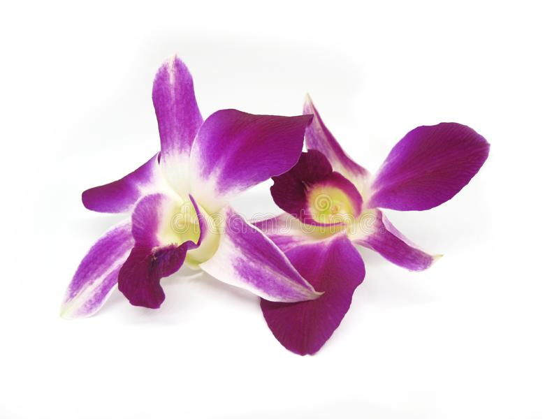 Beautiful purple orchid flower isolated on white background. Close up beautiful purple orchid flower isolated on white background royalty free stock images