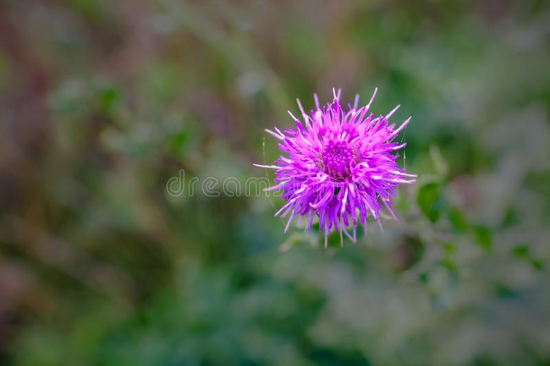 Close up of beautiful purple pink thistle flower stock photography