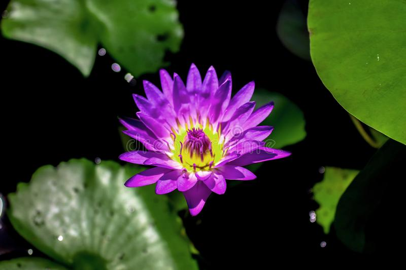 Close-up of A Purple Waterlily in The Sunshine royalty free stock photography