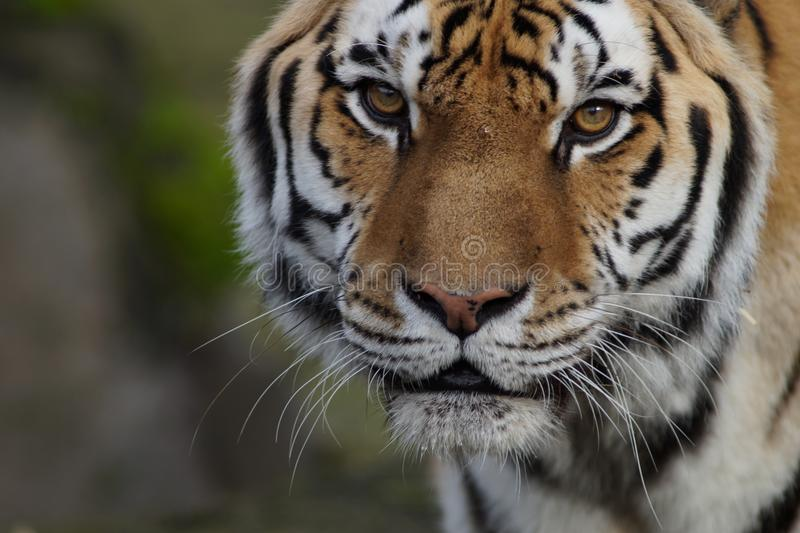Close-up of a Beautiful Rare Amur Tiger. Amur Tiger photographed in the Oregon Zoo. He is nineteen years old. Amur tigers are one of the rarest tigers in the stock images