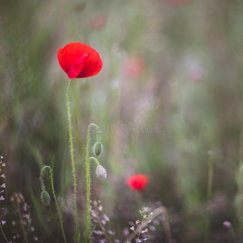 Close up of beautiful, red, blooming poppies in a natural field. Shot with vintage Helios lens 40 2 royalty free stock photo